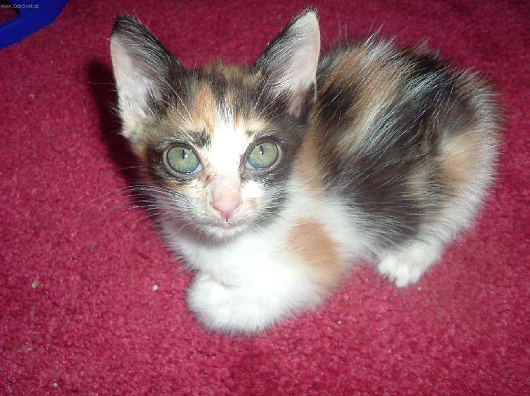 japanese bobtail cat japanese bobtail cat