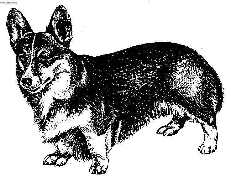 Pembroke Welsh Corgi Dog Standard