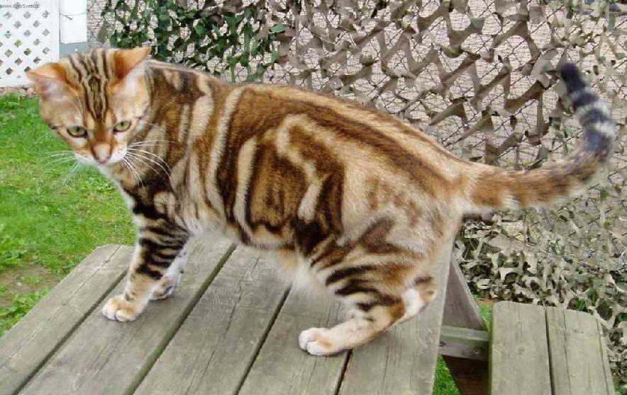 Fotky: Americká krátkosrstá kočka (foto, obrázky)