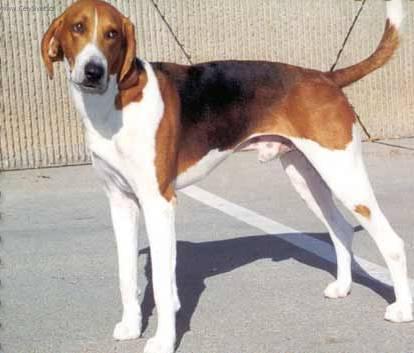 Fotky: Americký foxhound (foto, obrázky)