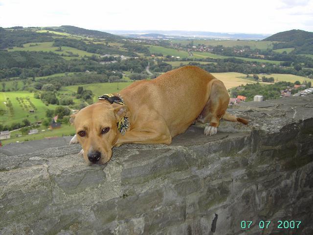 Fotky: Americký pitbull teriér (foto, obrázky)