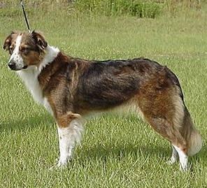 Foto: Anglický ovčácký pes