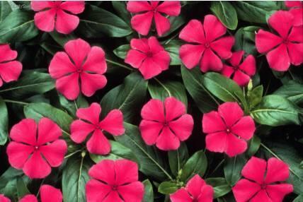 Barvínek růžový