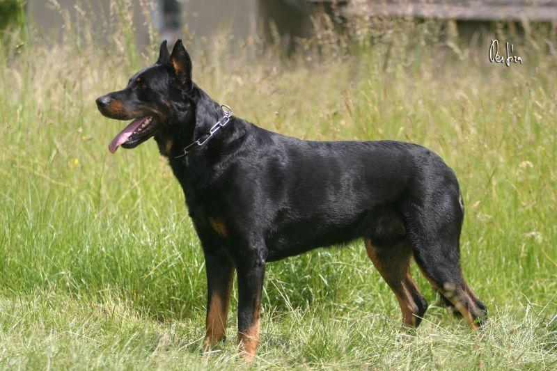 Foto: Beauceron-CHS: Warrior Soul