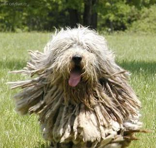 Fotky: Bergamský ovčák (foto, obrázky)