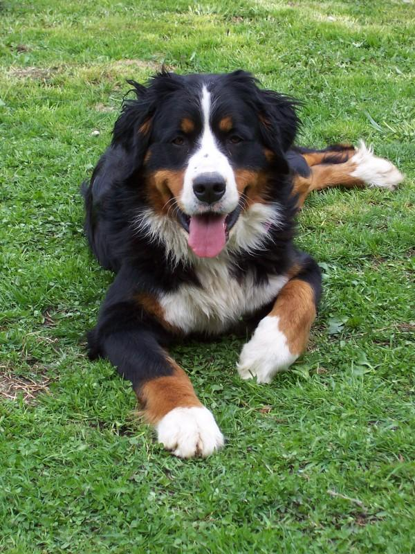 Fotky: Bernský salašnický pes (foto, obrázky)