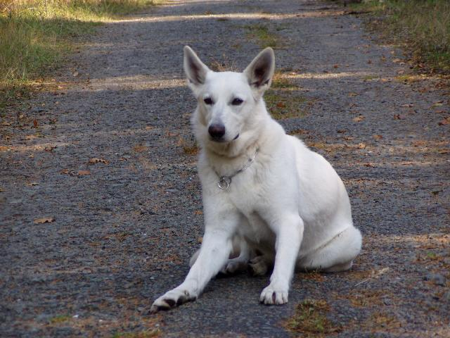 Fotky: Bílý švýcarský ovčák (foto, obrázky)