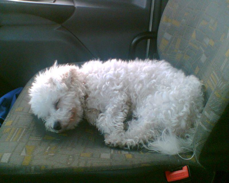 Fotky  Boloňský psík (foto fd305c6791