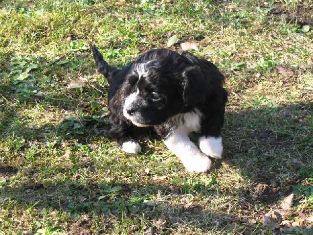 Fotky: Boloňský psík (foto, obrázky)