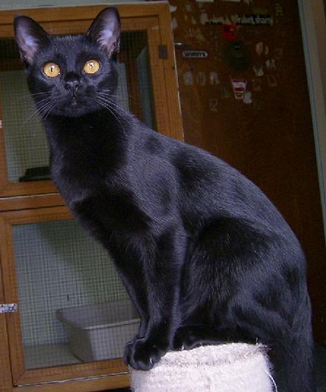 Fotky: Bombajská kočka (foto, obrázky)