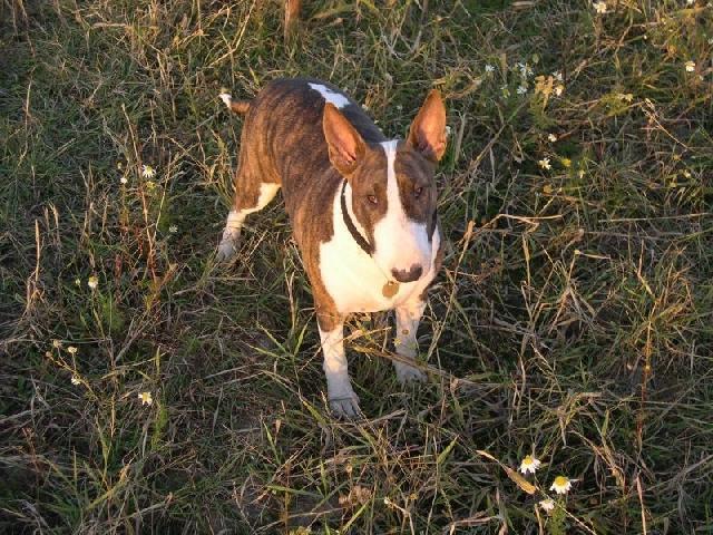 Bulteriér (Bullteriér) (Bull Terrier)