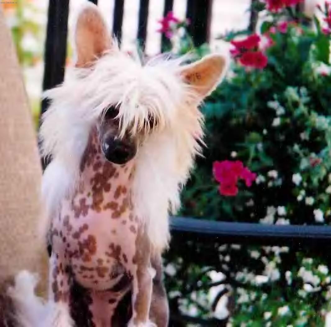 Fotky: Čínský chocholatý pes (foto, obrázky)