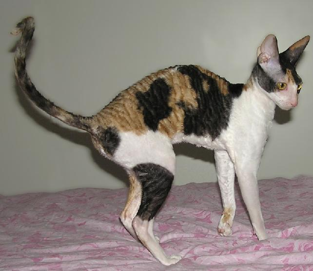 Foto: Cornish Rex