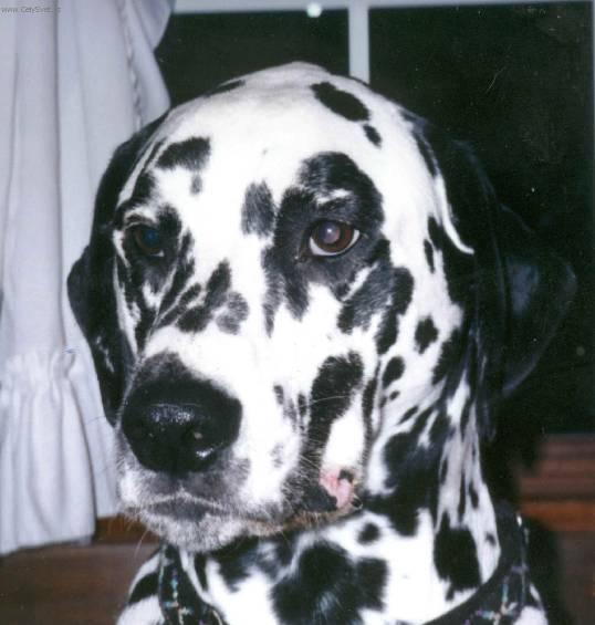 Fotky: Dalmatin (foto, obrázky)