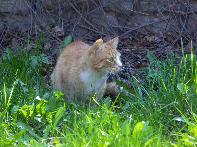 Fotky: Domácí kočky (foto, obrázky)