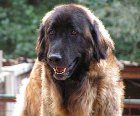 Fotky: Estrelský pastevecký pes (foto, obrázky)