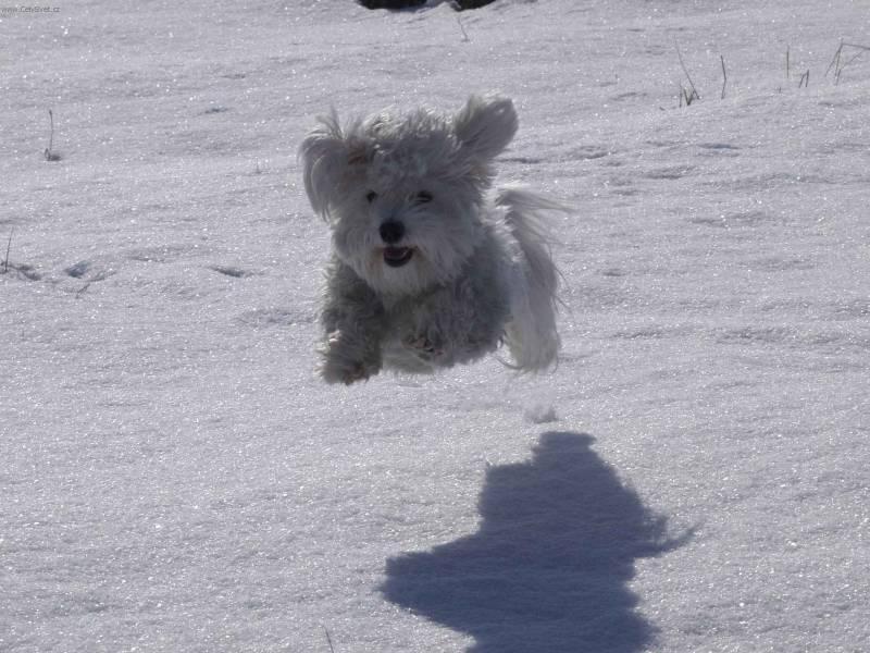 Fotky: Havanský psík, Havanský bišonek (foto, obrázky)