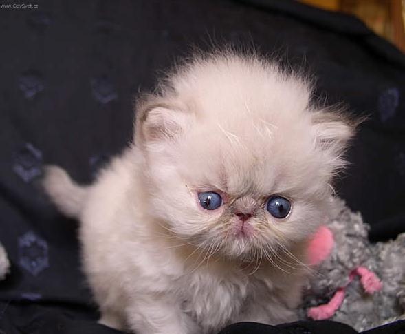 Foto: Himalájsko-perská kočka