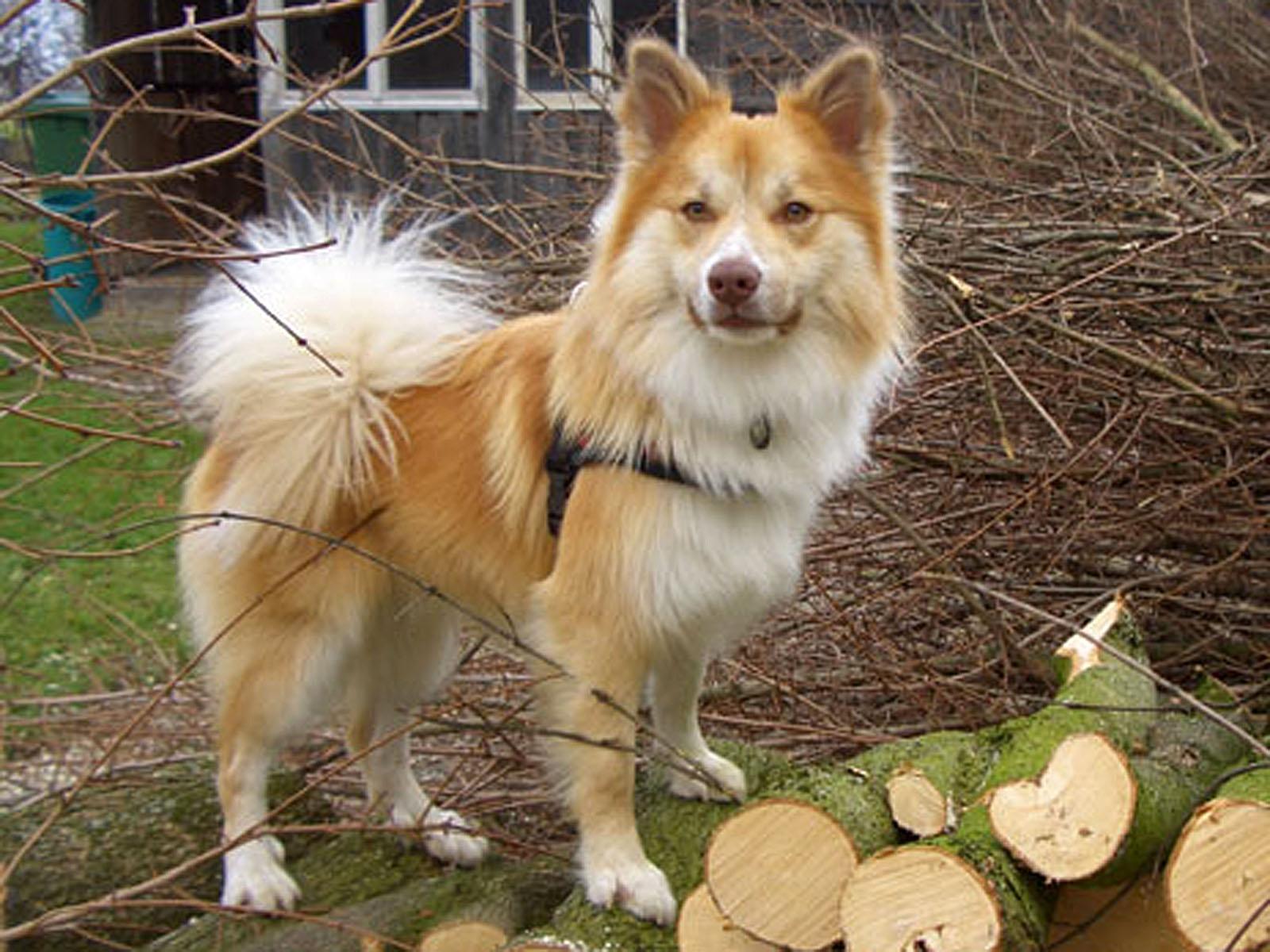 Icelandic Sheepdog Dog