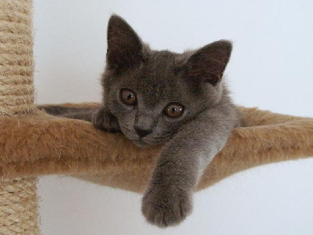 Fotky: Kartouzská kočka, Šartréz (foto, obrázky)
