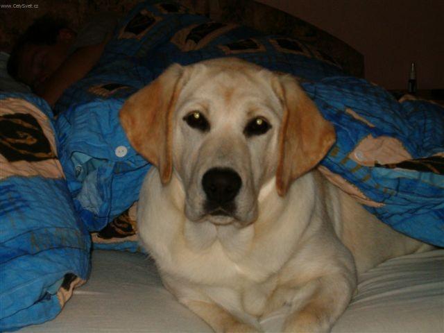 Labradorský retrívr (Labrador Retriever)