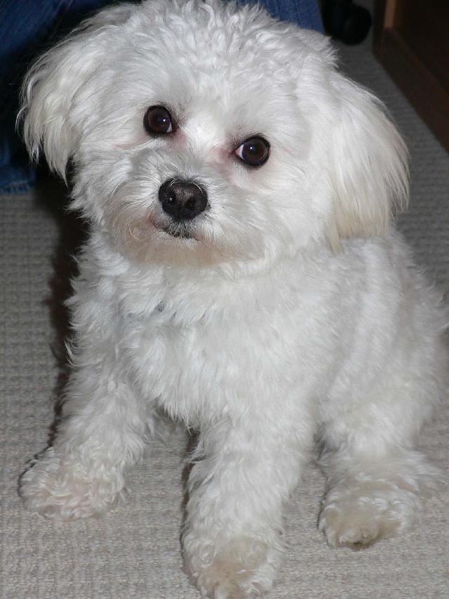 Fotky: Maltézáček, Maltézský psík (foto, obrázky)