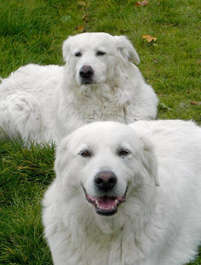 Fotky: Maremmansko-abruzský pastevecký pes (foto, obrázky)