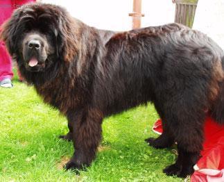 Fotky: Novofundlandský pes (foto, obrázky)