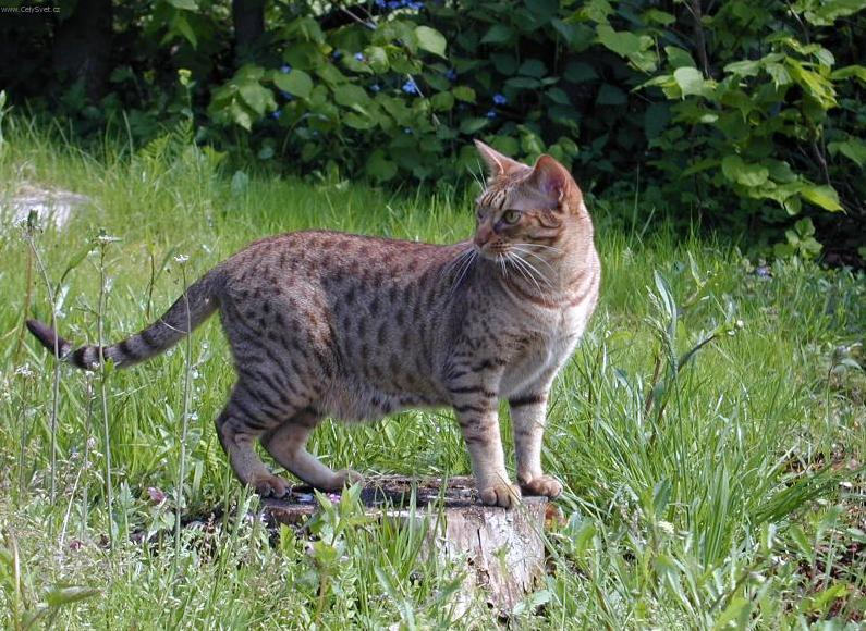 Fotky: Ocicat kočka (foto, obrázky)