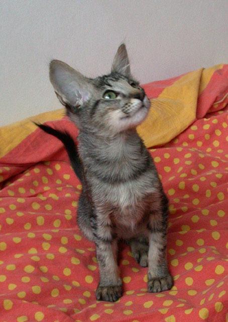 Fotky: Orientální dlouhosrstá kočka - javánská (foto, obrázky)