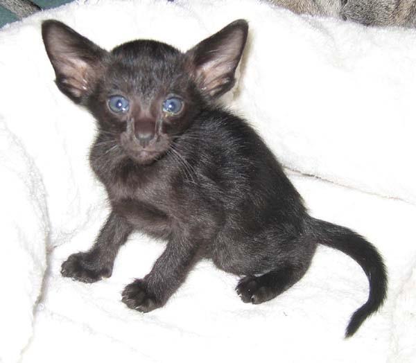 Kratkosrstá kočka článek orientální kratkosrstá kočka diskuze