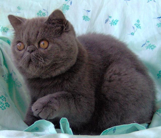 Fotky: Perská kočka (foto, obrázky)