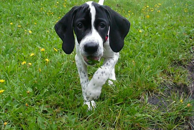 Pointr (English Pointer)