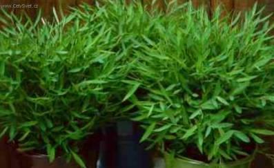Pokojový bambus