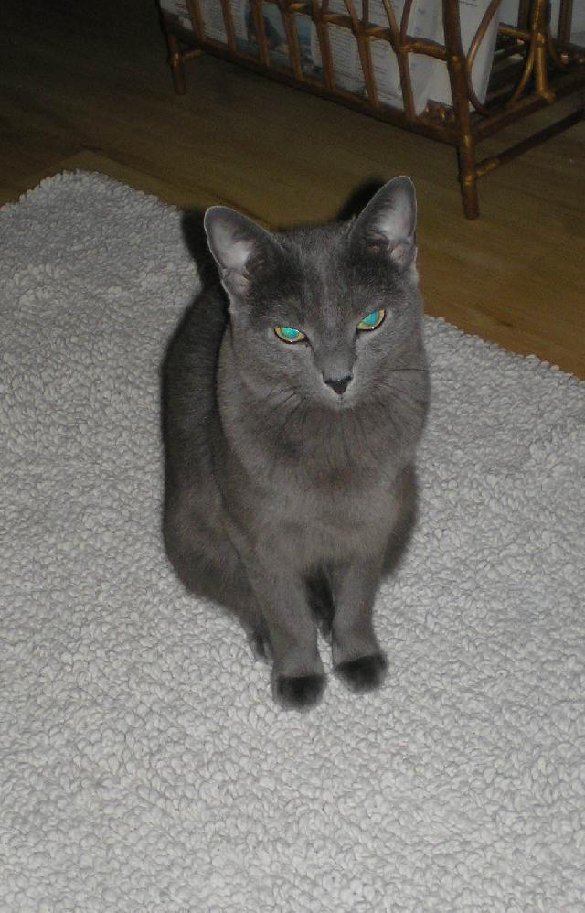 d44035685 Fotky: Ruská modrá kočka (foto, obrazky)