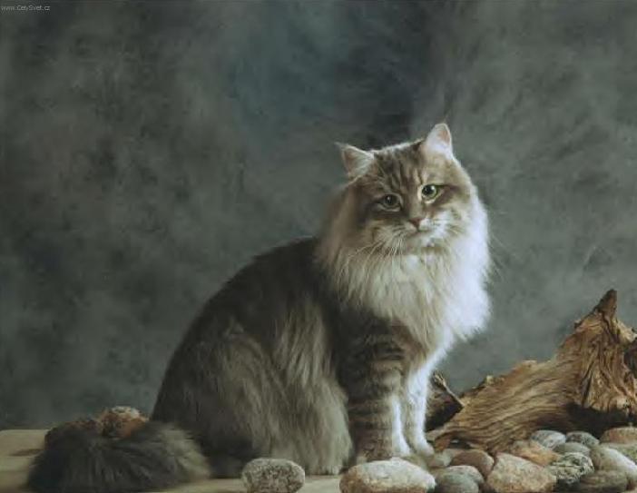 Fotky: Sibiřská kočka (foto, obrázky)