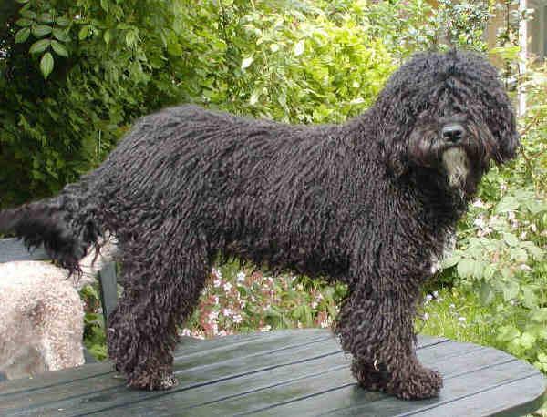 Fotky: Španělský vodní pes (foto, obrázky)