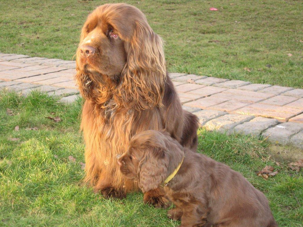 Foto: Sussex �pan�l-Barney (Sovaroma Sussex Spaniels)