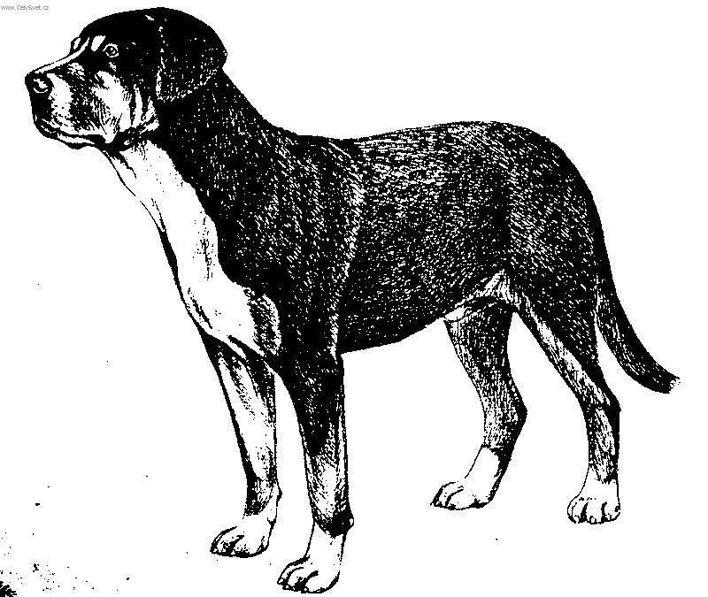 Foto Velky Svycarsky Salasnicky Pes Grosser Schweizer Sennenhund