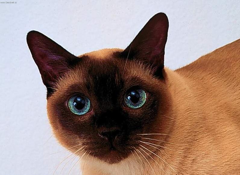 Fotky: Thajská kočka (foto, obrázky)