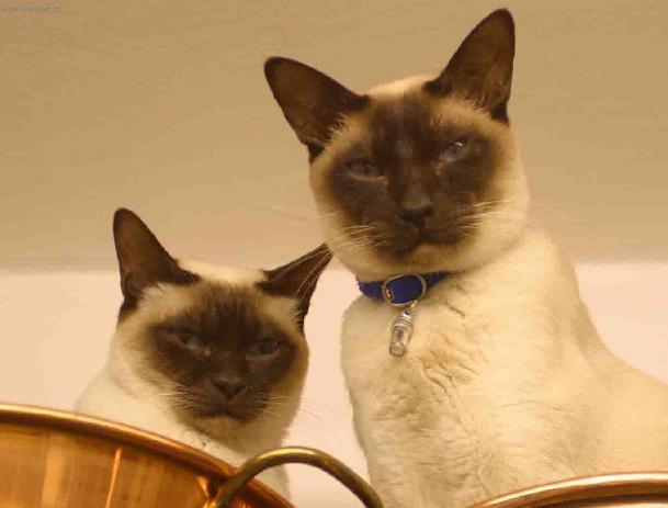 Fotky: Tonkinská kočka (foto, obrázky)