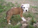 Americký pitbull teriér