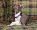 Psí plemena: Lovecká > Anglický chrt (Greyhound)