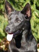 Psí plemena: Ovčáci a honáčtí psi > Australská kelpie (Australian Kelpie)