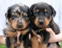 Ps� plemena:  > Beauceron (Berger de Beauce, Bauce Shepherd)