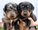 Psí plemena: Ovčáci a honáčtí psi > Beauceron (Berger de Beauce, Bauce Shepherd)