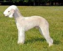 Ps� plemena:  > Bedlington terier (Bedlington Terrier)