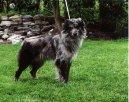 Psí plemena: Ovčáci a honáčtí psi > Pyrenejský ovčák s kratkou srstí (Chien de Berger des Pyrénées á face rase)
