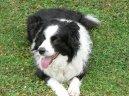 Psí plemena: Ovčáci a honáčtí psi > Border kolie (Border Collie)