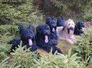 Psí plemena: Ovčáci a honáčtí psi > Briard (Berger de Brie)